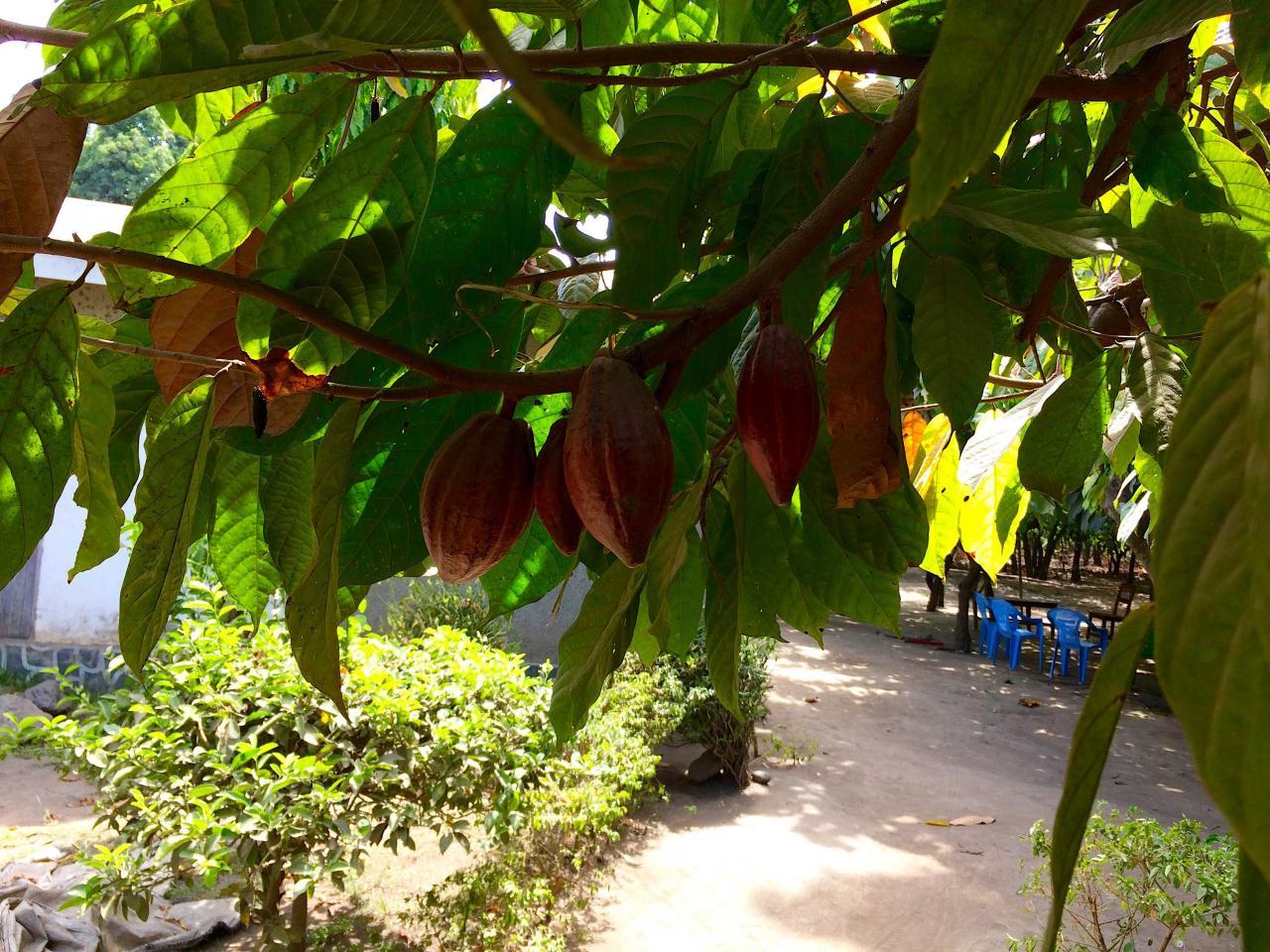 Tanzanian cocoa. Photo: Thomas Coly