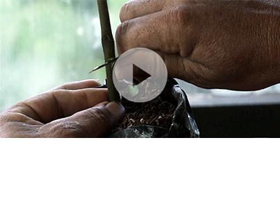 エピソード6 ― カカオの農法